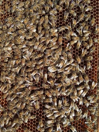 Пчелы или пчелопакеты