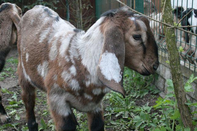 Koziołek anglonubijski dekornizowany, kozioł, koza anglonubijska