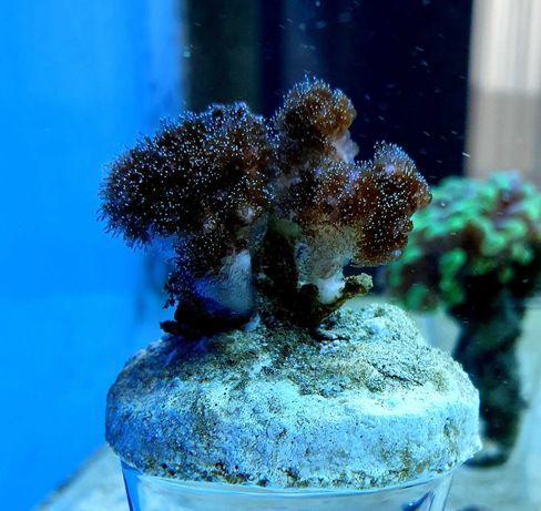 Koralowiec Pocillopora damicornis / szczepka / odbiór osobisty