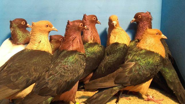 Gołębie Gile złote i miedziane
