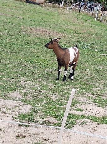 Sprzedam kozę i kozę z młodą kózką