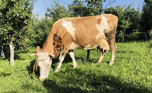 Корова, Продам корову