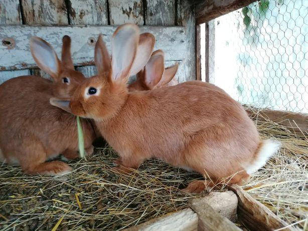 Królik króliki kalifornijskie kalifornijski kalifornijska