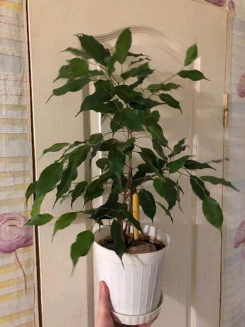 Фикус Бенджамина. Комнатный цветок дерево