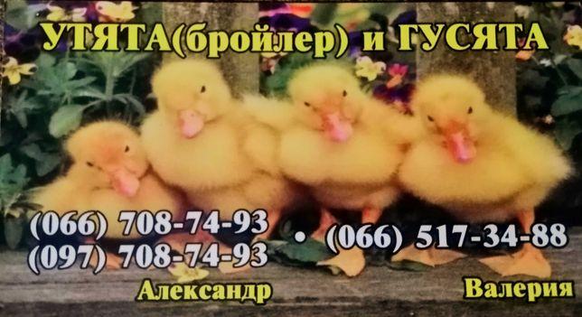 Цыплята, Утята , Гусята