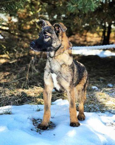 Собака, щенок Бренди 6 месяцев, девочка, собачка