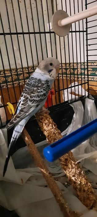 Papugi młode faliste Lęgniszewo - image 1