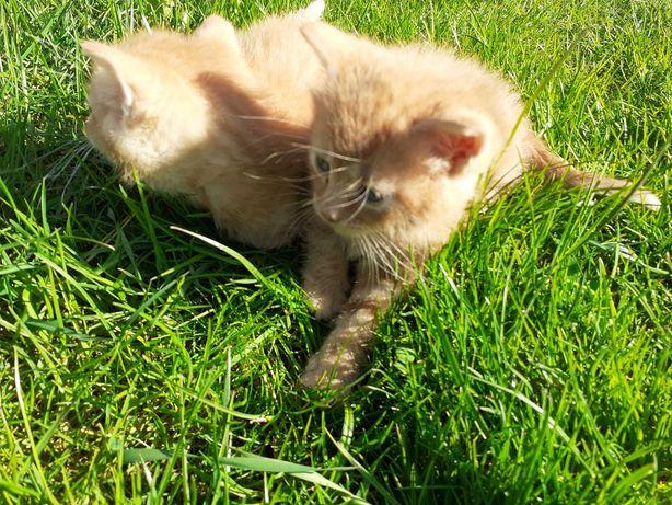 Śliczne rude kotki.