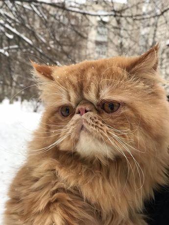 В'язка кіт персидський
