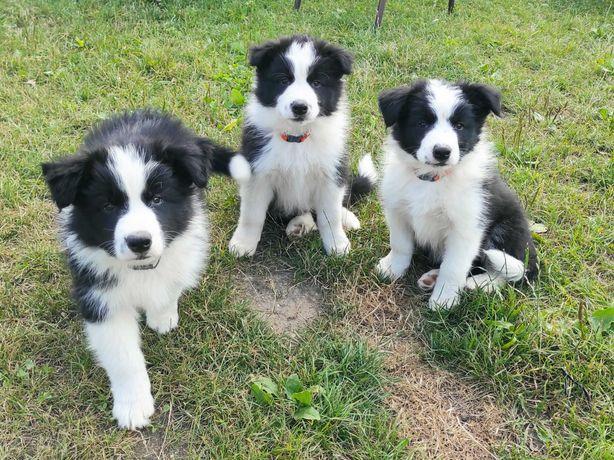 Border Collie ZKwP FCI szczenięta suczka i 2 psy