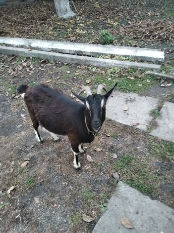Продам козу з 8-м місячною кізонькою.