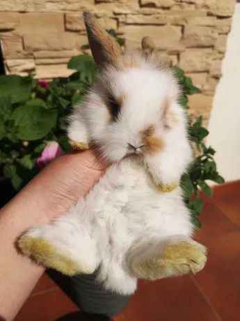Śliczny króliczek miniaturka długowłosy karzełek teddy różne królik