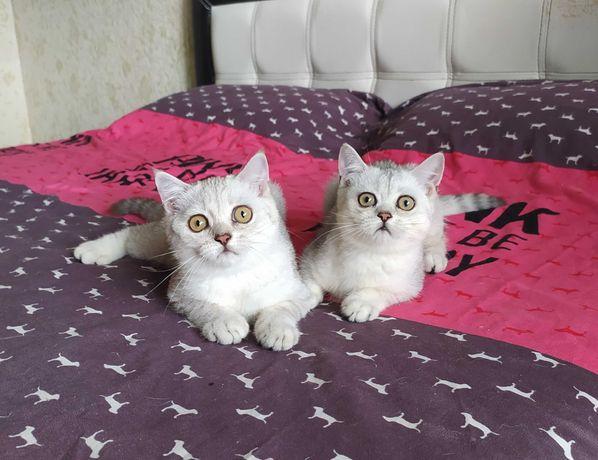 Серебристые Котики-красавчики