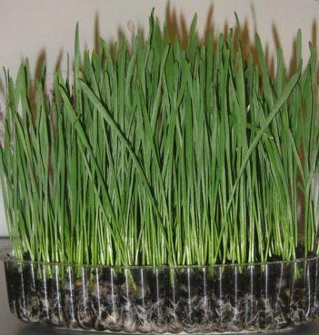 Смесь трав для котов. Боярка - изображение 1