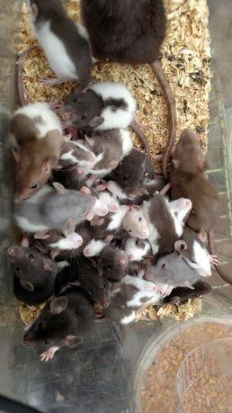 Милые декоративные крысята