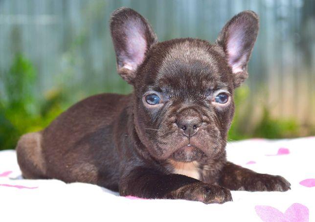 Три щенка французского бульдога Готовы к переезду в новую семью