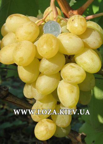 Однолетние саженцы винограда .