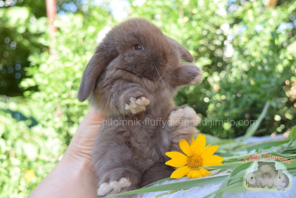 """Карликовые вислоухие кролики. Крольчата из питомника """"Fluffy Diamond"""""""