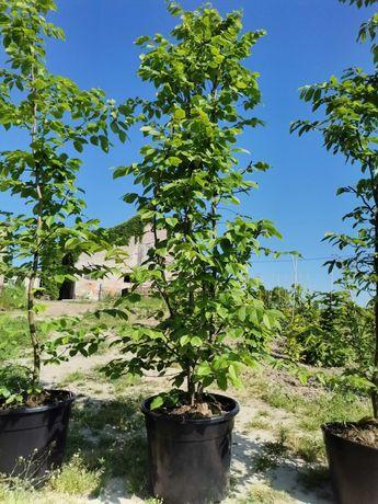 Grab pospolity Carpinus betulus