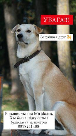Загублено, пропала собака Коломийський район