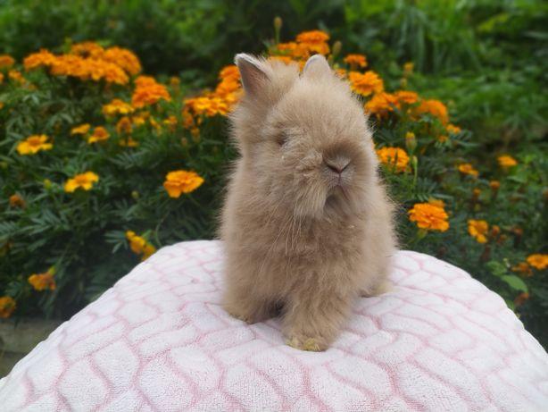 Karzełek Teddy , królik miniaturka , króliki miniaturki