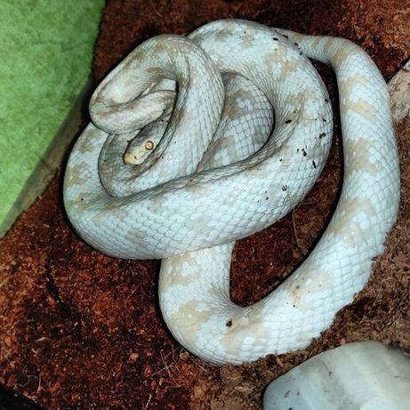 Wąż zbożowy Dorosła samica snow