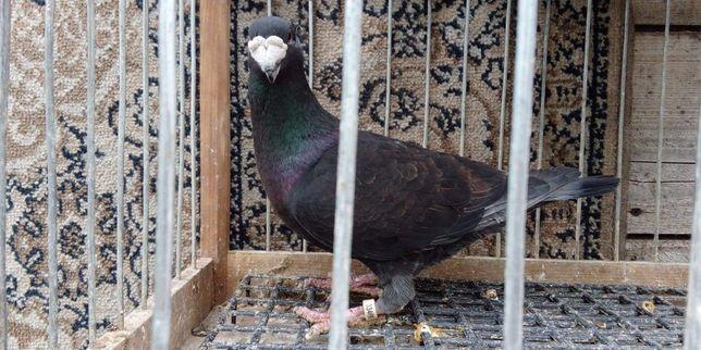 Niemiecki wystawowy gołąb gołębie wysyłka 24h
