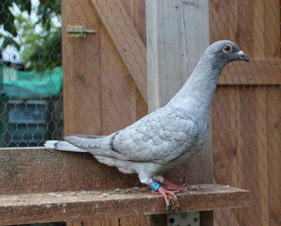 Rec. OPAL Spread - młode gołębie pocztowe w unikalnej barwie 2021 !!