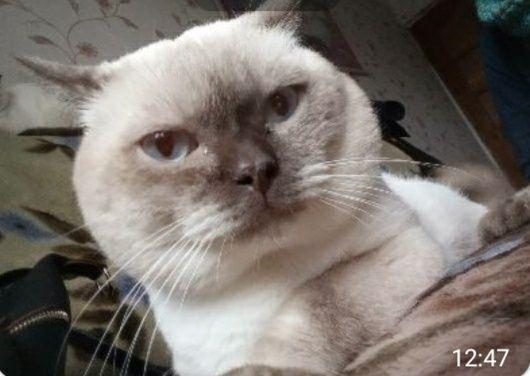 Скотиш страйт , кот ,  прямоухий шотландский , вязка