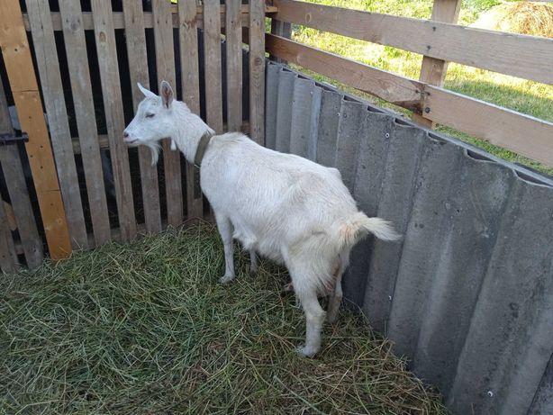 Продам заано-альпійську козу