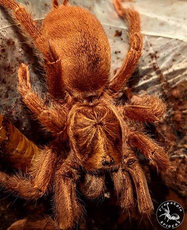Neoholothele incei gold L2 - pająk ptasznik i dużo innych