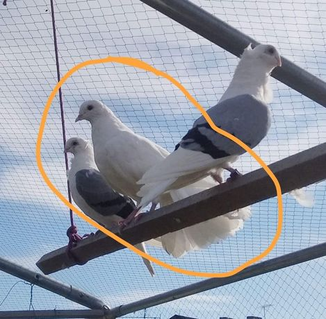 Gołębie ozdobne pawiki i loczki