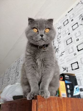 Шотландский Вислоухий, Кошечка