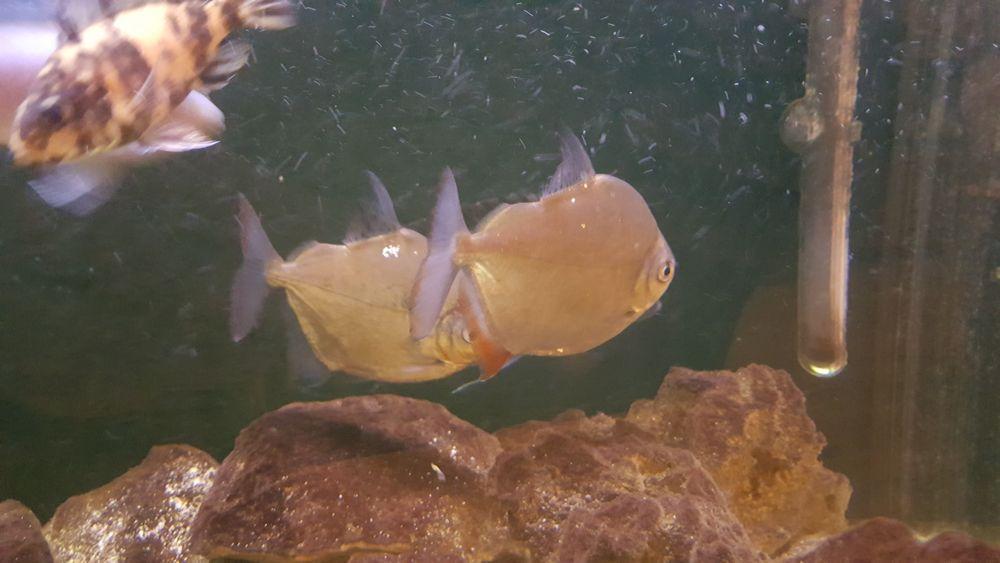 Płaskobok tępogłowy Jasienica Dolna - image 1