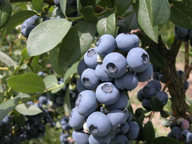 Borówka amerykańska – owoce (nigdy niepryskane)