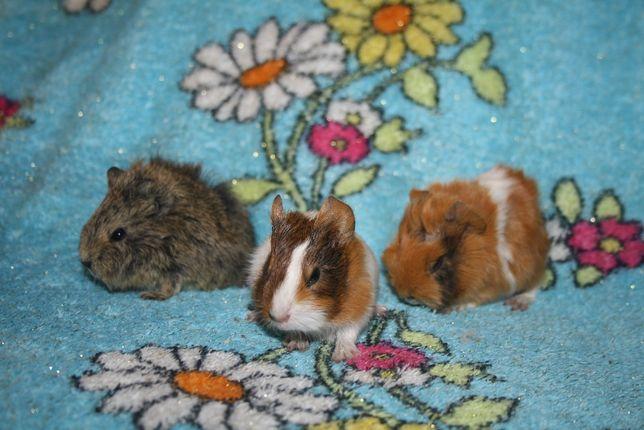 Заморские свинки уже в продаже