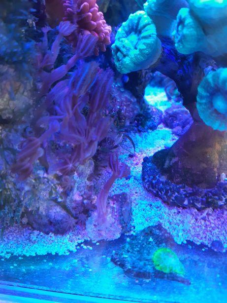 Koralowce Anthelia