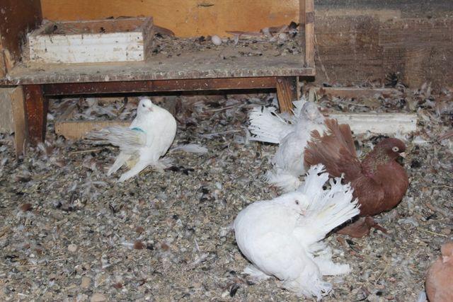 Статные голуби