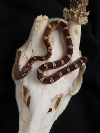 Wąż zbożowy Bloodred samiec 22.