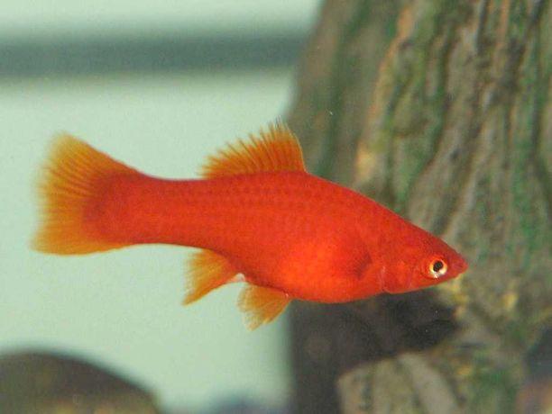 Mieczyk Czerwony VelvetXiphophorus helleri4-5 cm