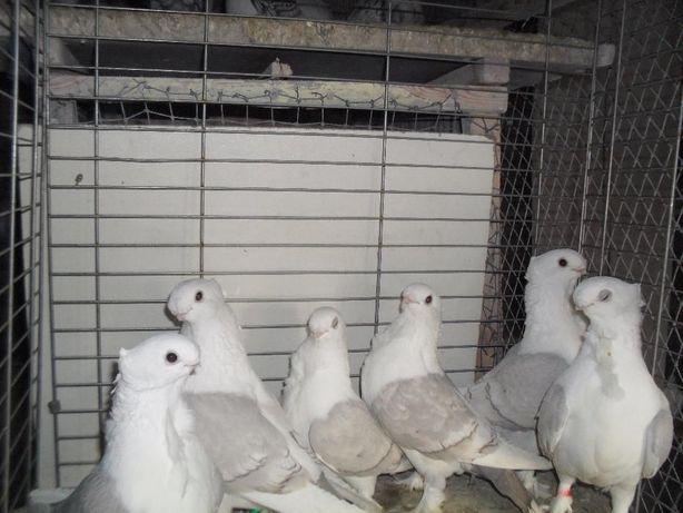 Gołębie Kariery, Blondynety