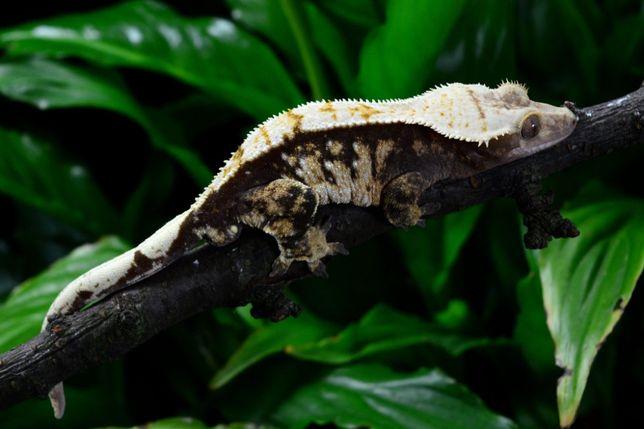 Gekon Orzesiony Ciliatus - Monstrum