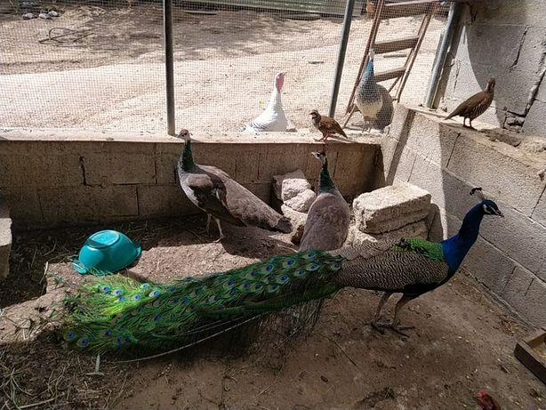 Vendo   Ovos de pavão