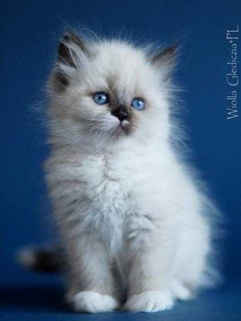 Piękna, wyjątkowa kotka syberyjska Neva masquerade od Glediczi*PL