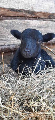 Owce wrzosówki ,  tryczki , maciorki