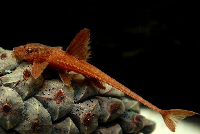 Loricaria red lizard, L010a (zbrojnik czerwony) XL