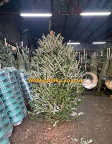 Продам пихту Фразера, ель, елка, новогодняя