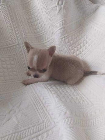 Chihuahua menina