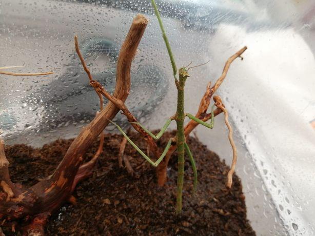Patyczak Indyjski (Carausius morosus) MASSON