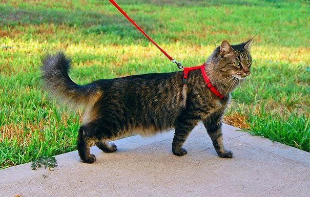 Шлейка и поводок для кошки и мелких собак